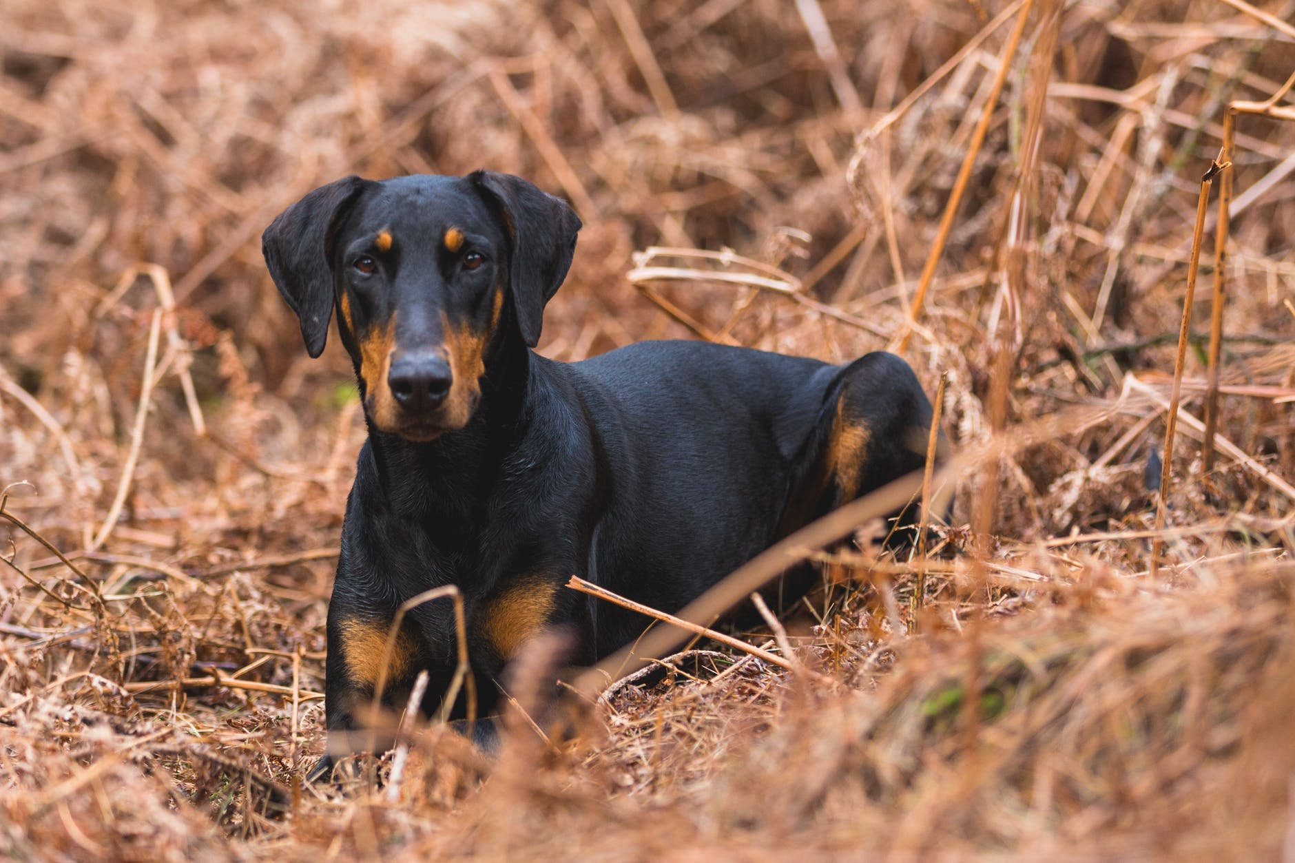 short coated black and brown dog on brown grass field