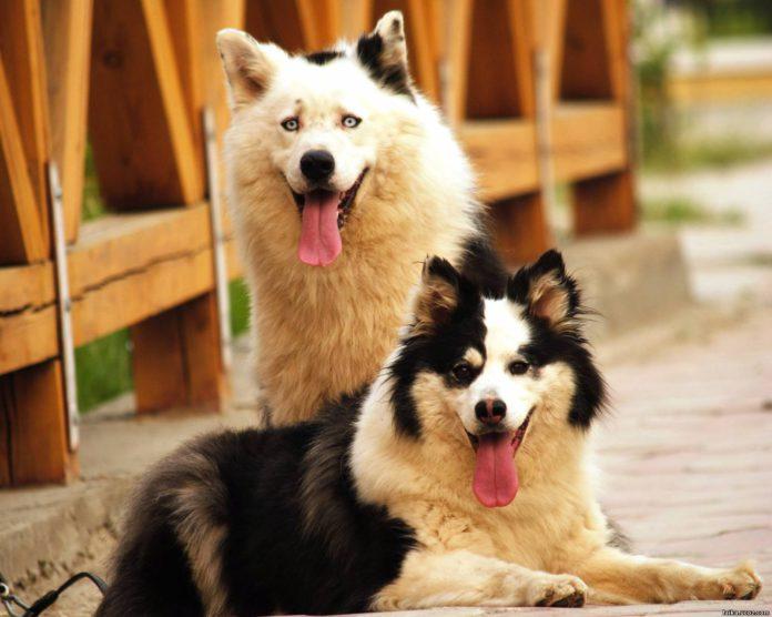 Yakutian Laika Dog Breed