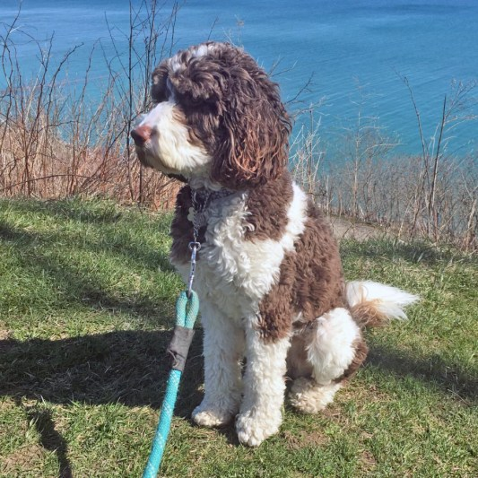 A Springerdoodle breed which is a mix between a Springer Spaniel and Poodle.
