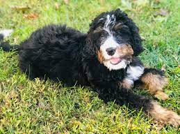 How much does a Bernedoodle cost